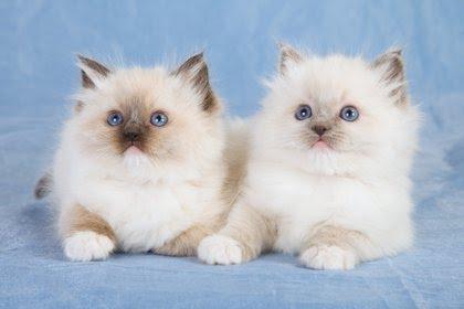 Los persas son una de las razas que más se adapta en los hogares (Shutterstock)